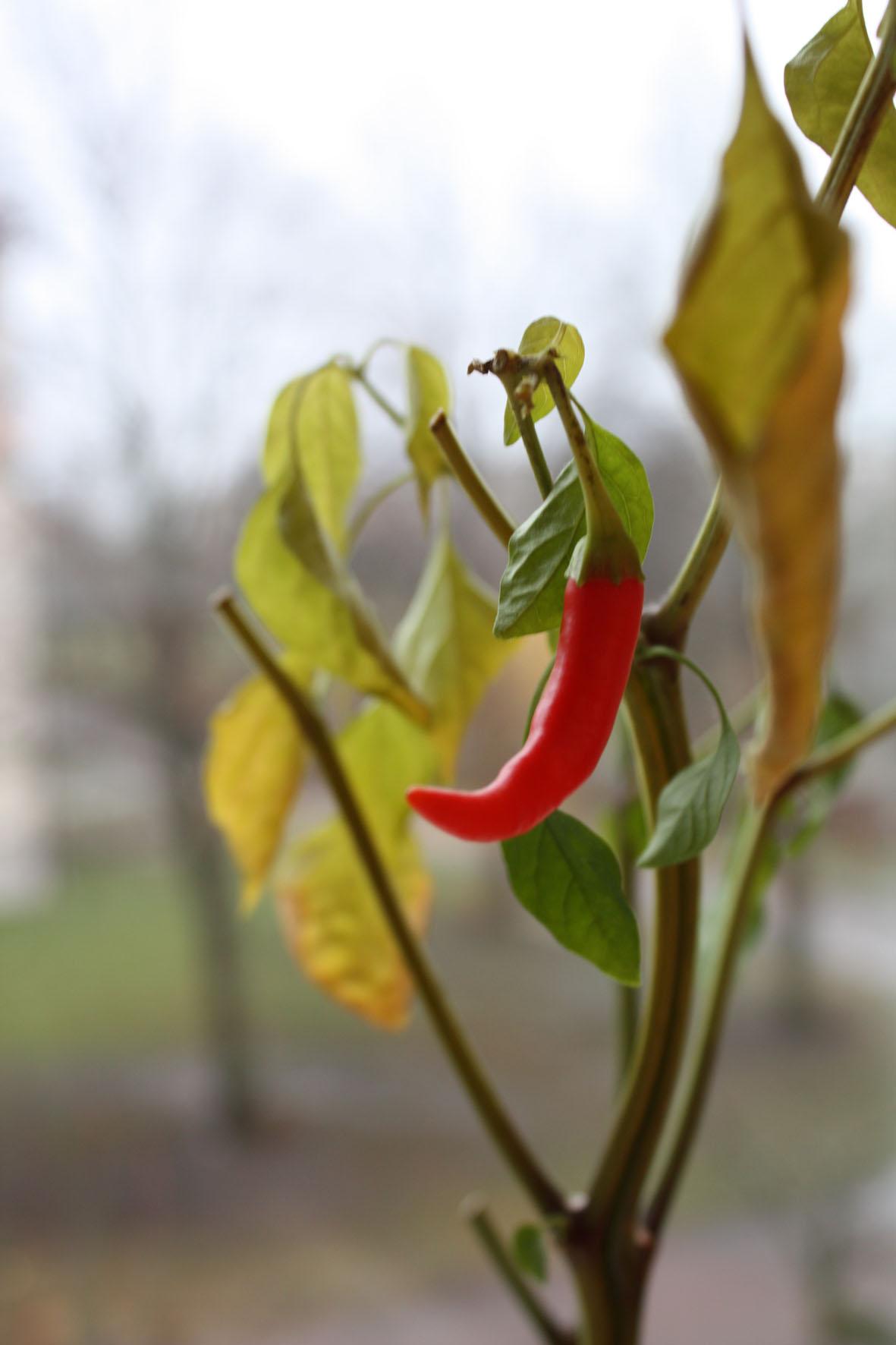 En övervintrad chili lyser upp den grå dagen